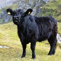 salzburg-guide-photobook-grossglockner-cow